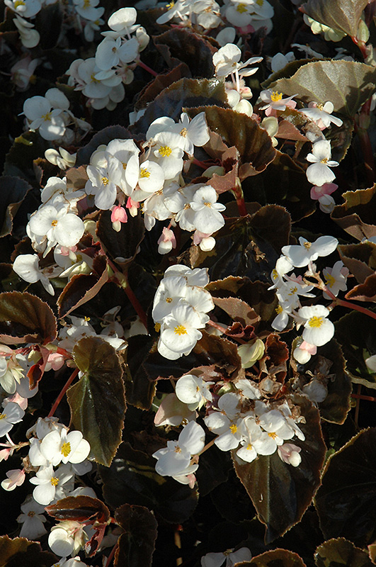 BabyWing White Bronze Leaf Begonia (Begonia 'BabyWing White Bronze Leaf') at Wolf Hill Home & Garden