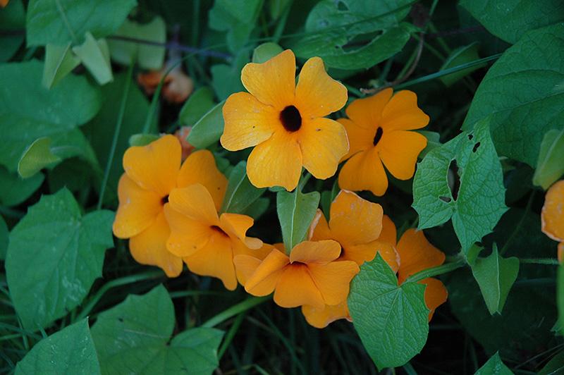 Sunny Orange Wonder Black-Eyed Susan (Thunbergia alata 'Sunny Orange Wonder') at Wolf Hill Home & Garden