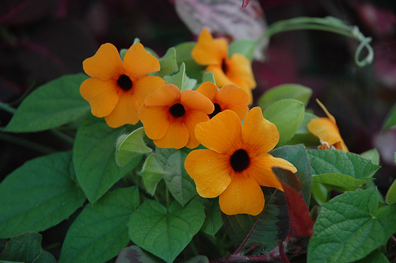 Sunny Susy Red Orange Black-Eyed Susan (Thunbergia alata 'Sunny Susy Red Orange') at Wolf Hill Home & Garden