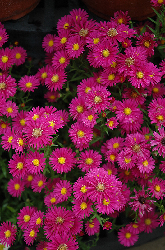 Hazy Aster (Aster 'Hazy') at Wolf Hill Home & Garden