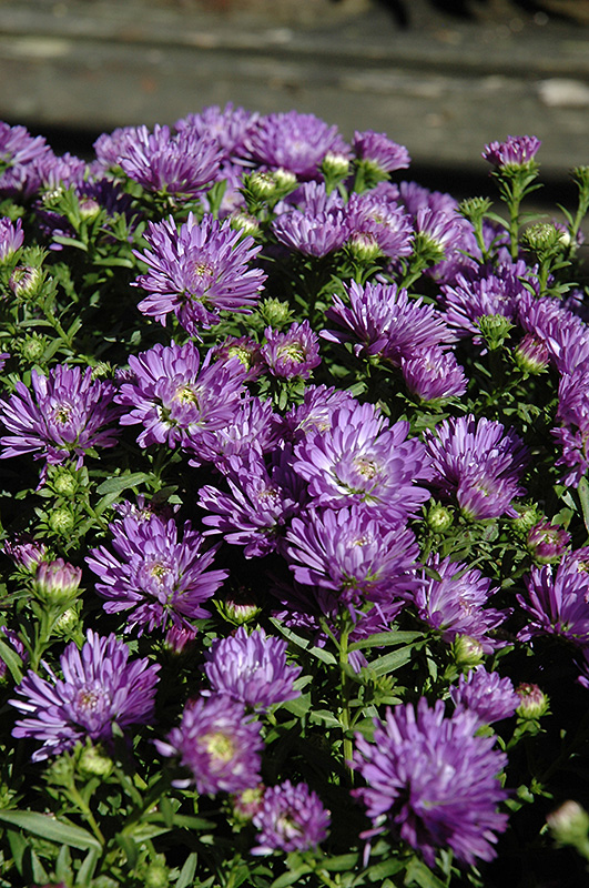 Blue Henry Aster (Aster 'Blue Henry') at Wolf Hill Home & Garden