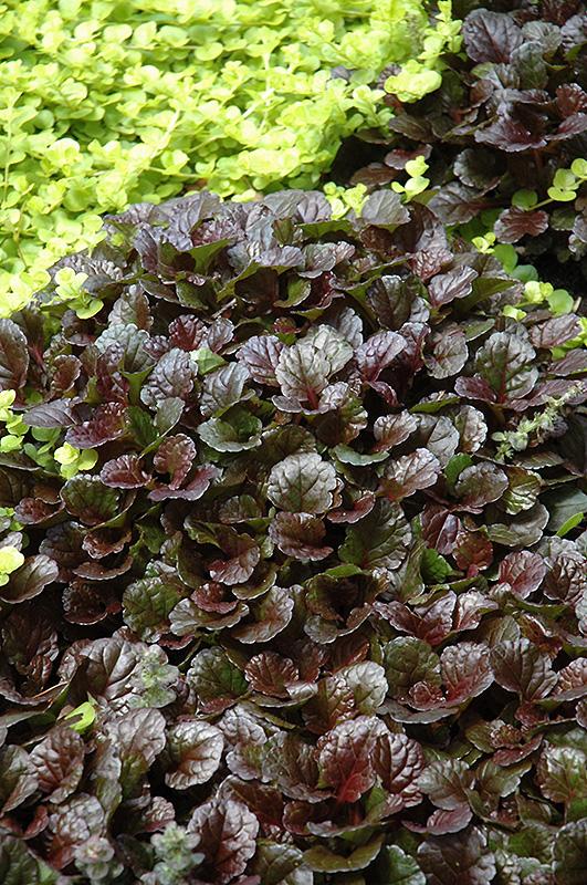 Black Scallop Bugleweed (Ajuga reptans 'Black Scallop') at Wolf Hill Home & Garden