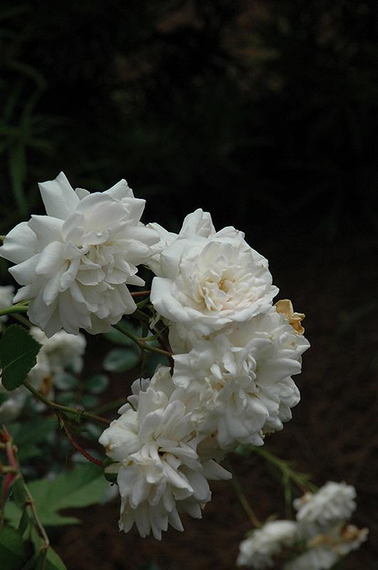 Sea Foam Rose (Rosa 'Sea Foam') at Wolf Hill Home & Garden