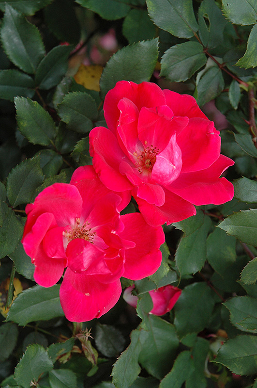 Red Knock Out Rose (Rosa 'Red Knock Out') at Wolf Hill Home & Garden
