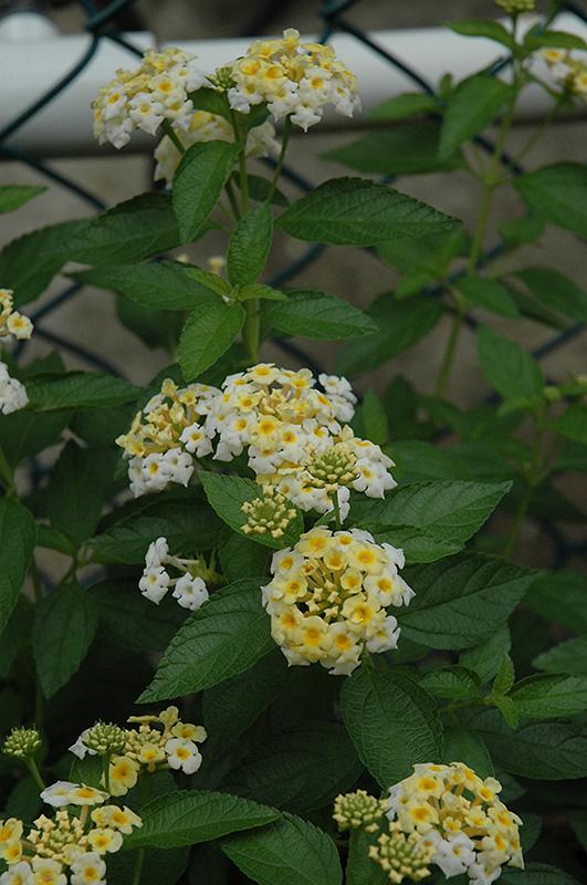 Alba Lantana (Lantana montevidensis 'Alba') at Wolf Hill Home & Garden