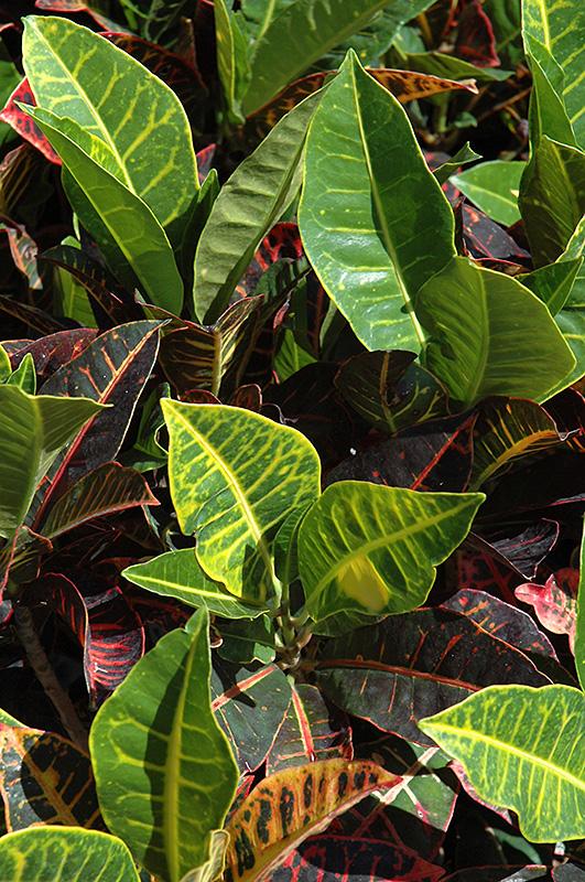 Variegated Croton (Codiaeum variegatum) at Wolf Hill Home & Garden