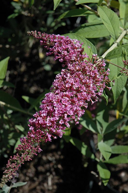 Charming Summer Butterfly Bush (Buddleia davidii 'Charming Summer') at Wolf Hill Home & Garden