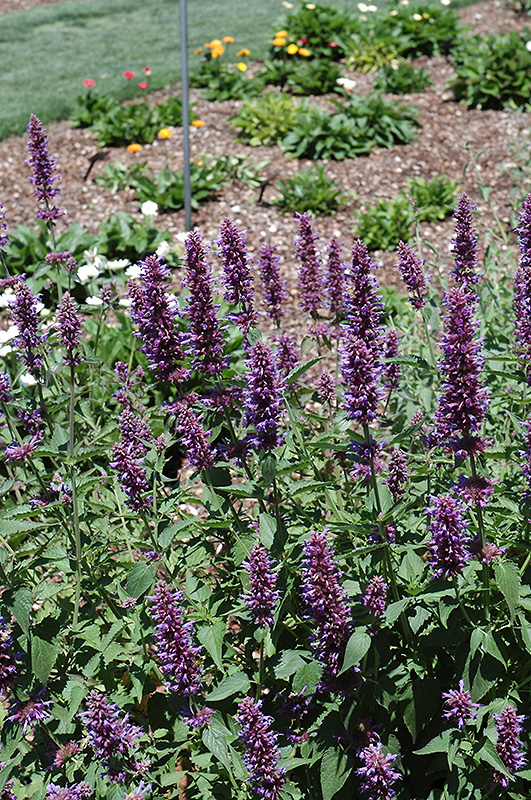 Blue Boa Hyssop (Agastache 'Blue Boa') at Wolf Hill Home & Garden