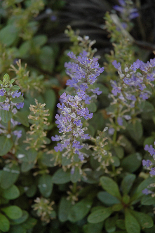 Mint Chip Bugleweed (Ajuga 'Mint Chip') at Wolf Hill Home & Garden