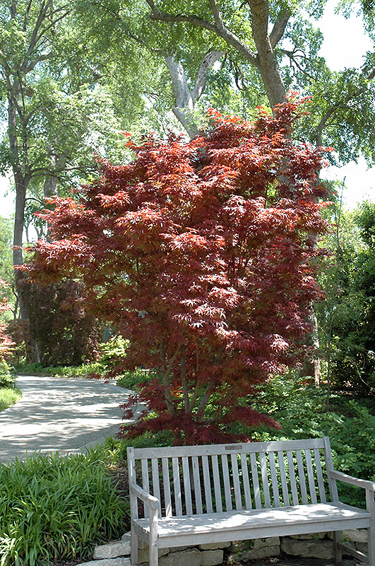 Pixie Japanese Maple (Acer palmatum 'Pixie') at Wolf Hill Home & Garden
