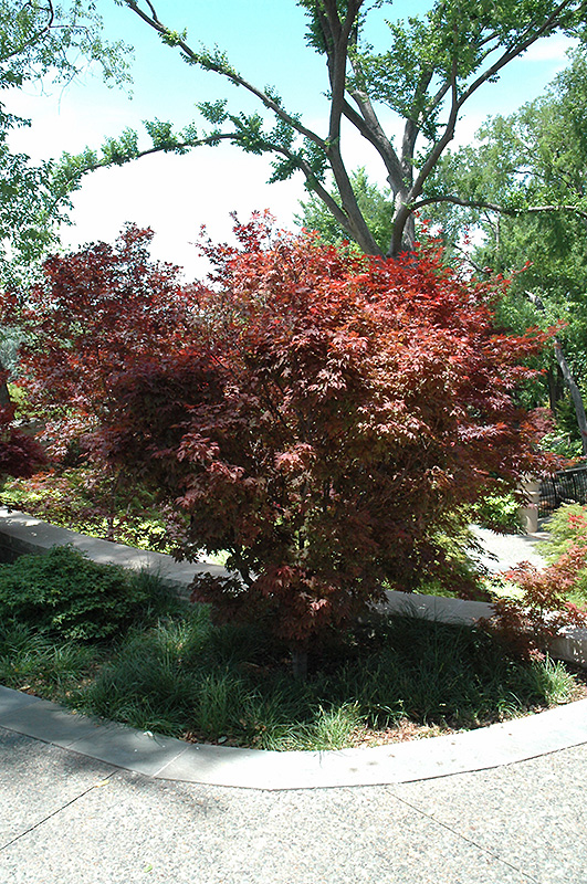 Ruslyn In The Pink Japanese Maple (Acer palmatum 'Ruslyn In The Pink') at Wolf Hill Home & Garden