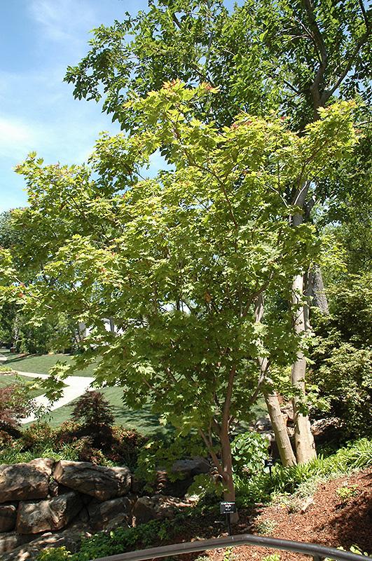 Otake Japanese Maple (Acer palmatum 'Otake') at Wolf Hill Home & Garden