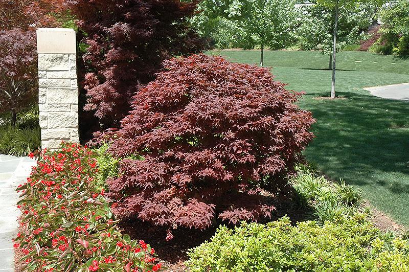 Rhode Island Red Japanese Maple (Acer palmatum 'Rhode Island Red') at Wolf Hill Home & Garden