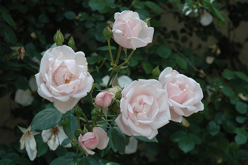 New Dawn Rose (Rosa 'New Dawn') at Wolf Hill Home & Garden