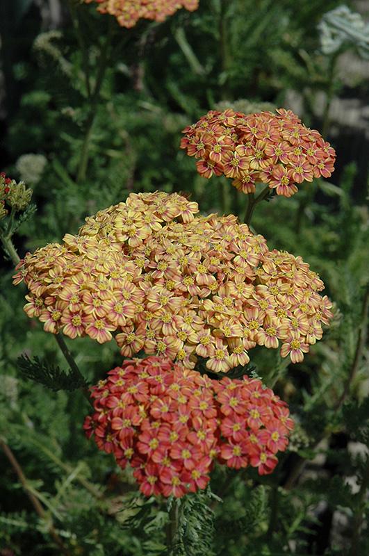 Desert Eve Terracotta Yarrow (Achillea millefolium 'Desert Eve Terracotta') at Wolf Hill Home & Garden