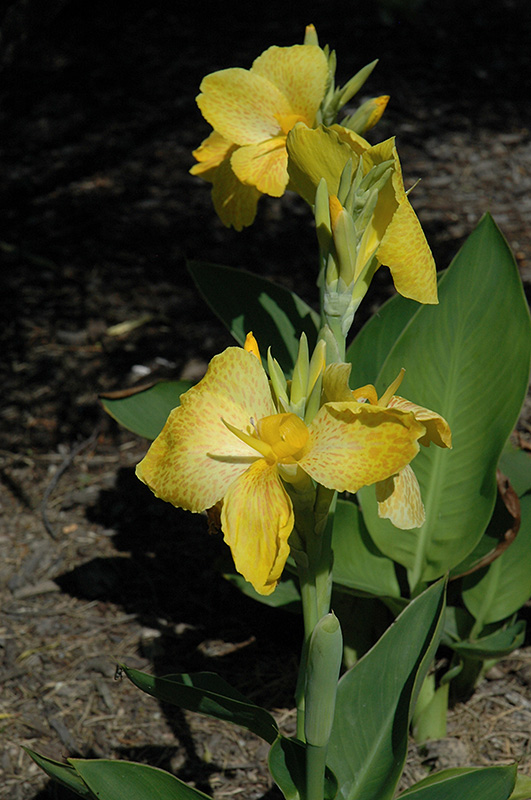 Tropical Yellow Canna (Canna 'Tropical Yellow') at Wolf Hill Home & Garden