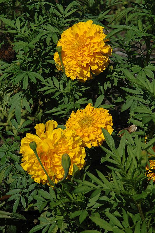 Jedi Deep Gold Marigold (Tagetes erecta 'Jedi Deep Gold') at Wolf Hill Home & Garden