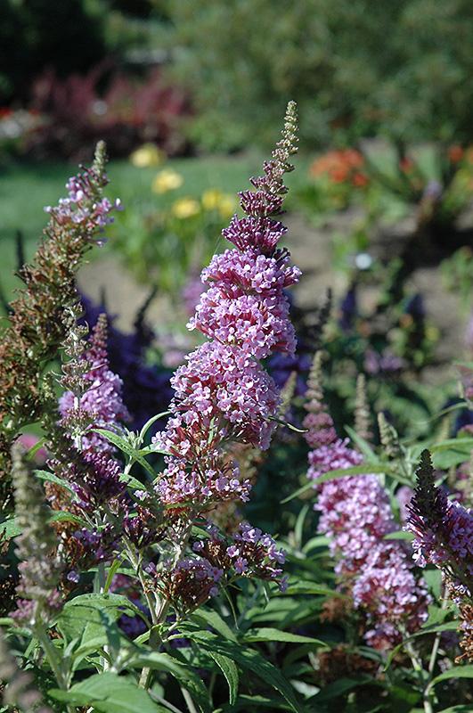 Buzz Violet Butterfly Bush (Buddleia davidii 'Tobudviole') at Wolf Hill Home & Garden