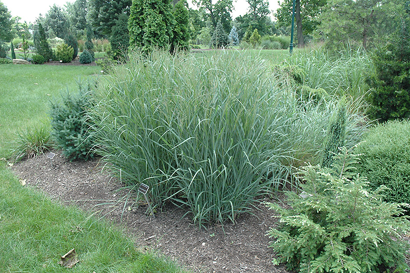 Heavy Metal Blue Switch Grass (Panicum virgatum 'Heavy Metal') at Wolf Hill Home & Garden