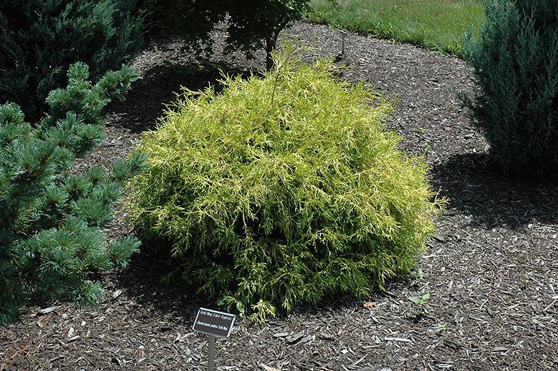 Golden Mop Falsecypress (Chamaecyparis pisifera 'Golden Mop') at Wolf Hill Home & Garden