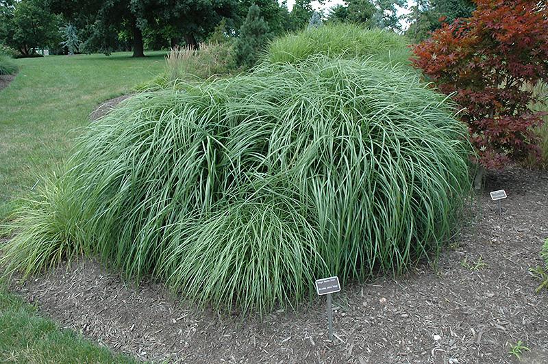Adagio Maiden Grass (Miscanthus sinensis 'Adagio') at Wolf Hill Home & Garden