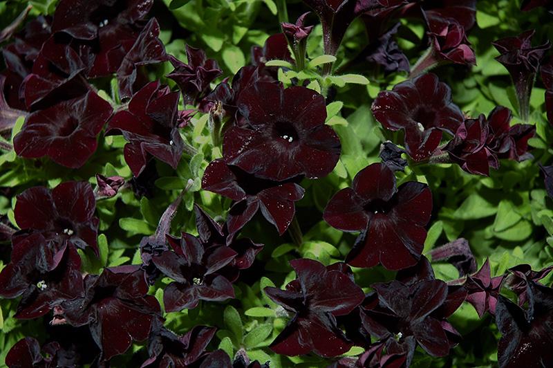 Black Ray Petunia (Petunia 'Black Ray') at Wolf Hill Home & Garden