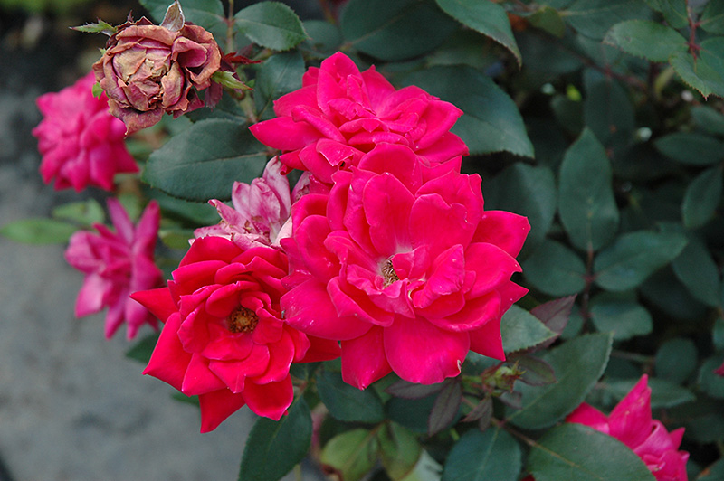Red Double Knock Out Rose (Rosa 'Red Double Knock Out') at Wolf Hill Home & Garden