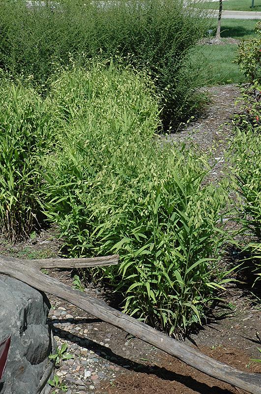 Northern Sea Oats (Chasmanthium latifolium) at Wolf Hill Home & Garden