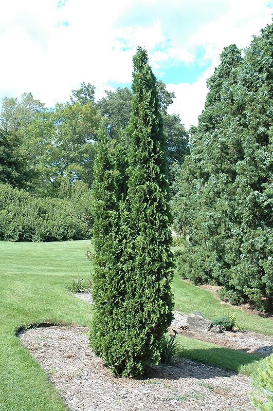 Degroot's Spire Arborvitae (Thuja occidentalis 'Degroot's Spire') at Wolf Hill Home & Garden