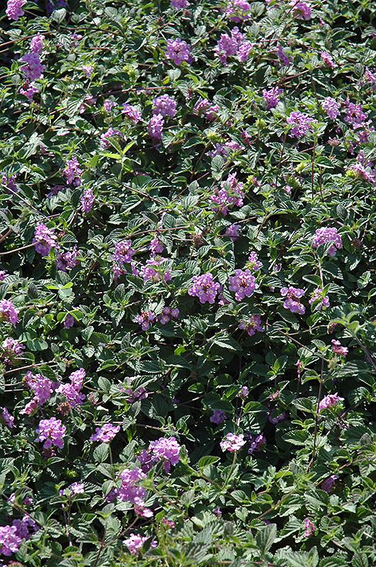 Purple Trailing Lantana (Lantana montevidensis) at Wolf Hill Home & Garden