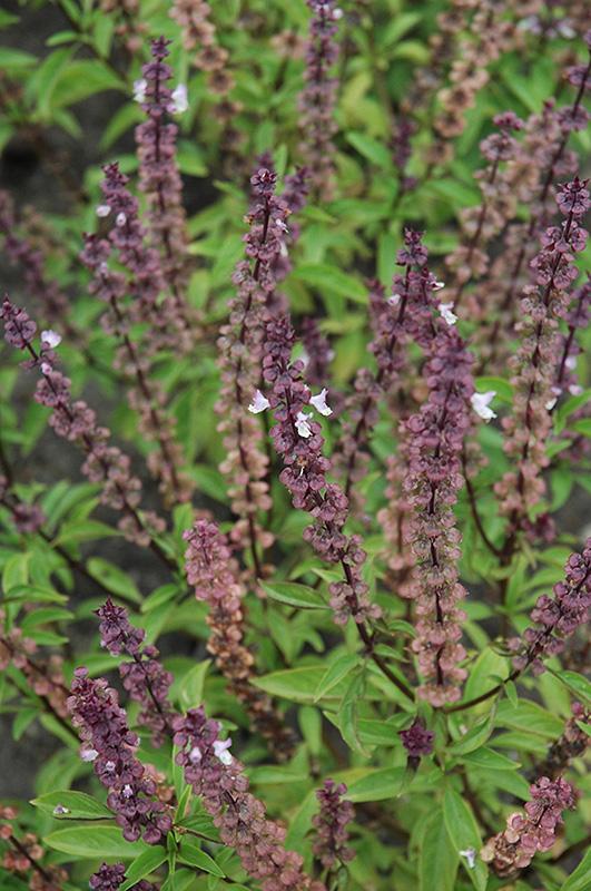 Thai Basil (Ocimum basilicum 'Thai') at Wolf Hill Home & Garden