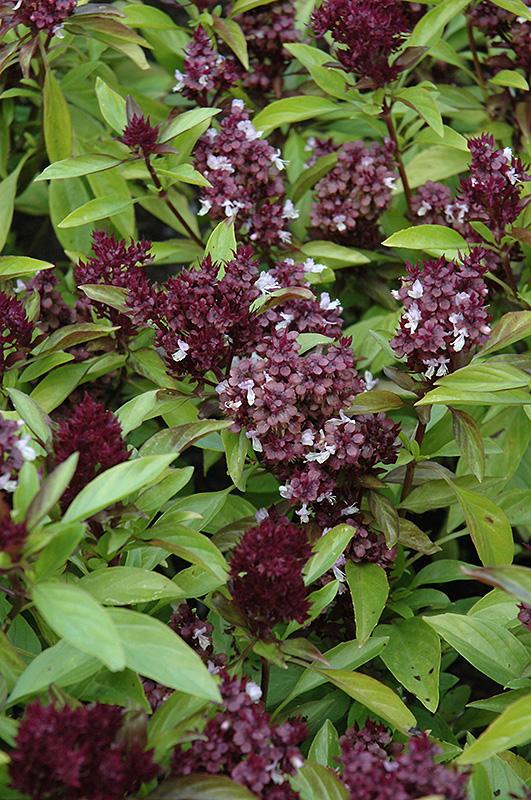 Siam Queen Basil (Ocimum basilicum 'Siam Queen') at Wolf Hill Home & Garden