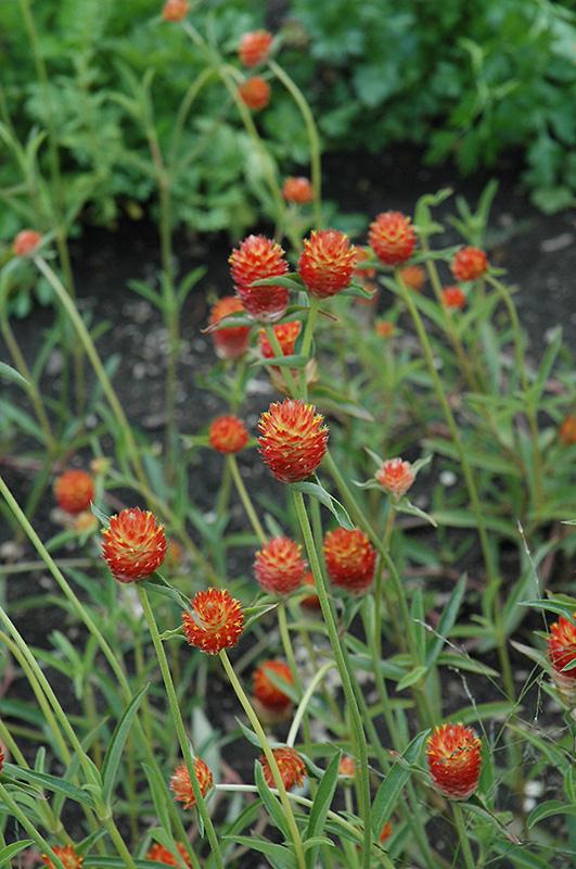 Qis Orange Gomphrena (Gomphrena 'Qis Orange') at Wolf Hill Home & Garden