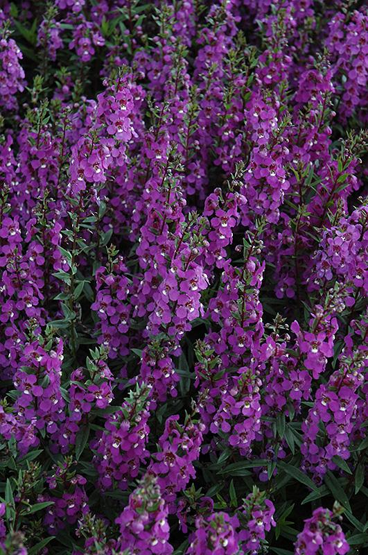 Serena Purple Angelonia (Angelonia angustifolia 'Serena Purple') at Wolf Hill Home & Garden