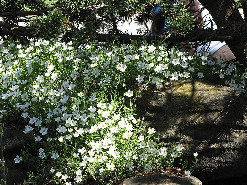 Mountain Sandwort (Arenaria montana) at Wolf Hill Home & Garden