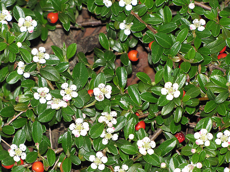 Coral Beauty Cotoneaster (Cotoneaster dammeri 'Coral Beauty') at Wolf Hill Home & Garden