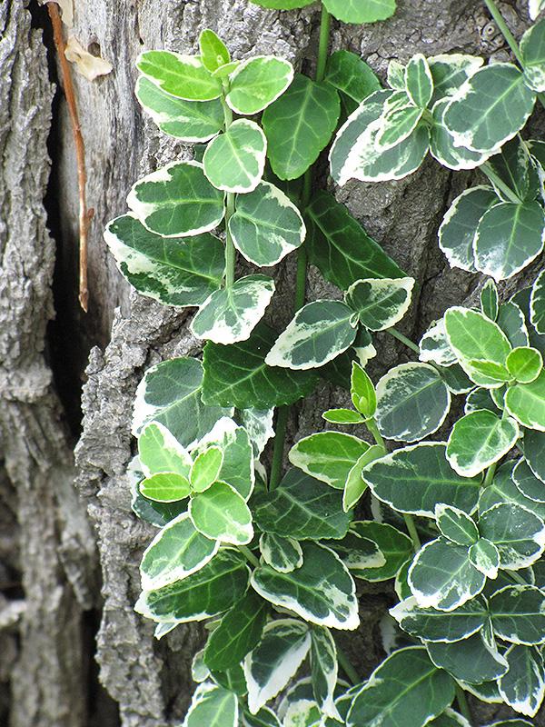 Emerald Gaiety Wintercreeper (Euonymus fortunei 'Emerald Gaiety') at Wolf Hill Home & Garden