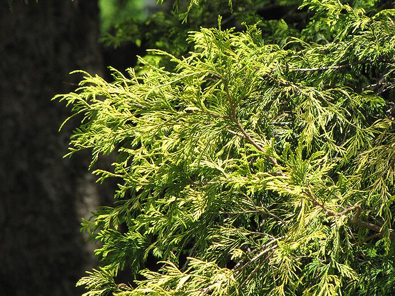 Golden Threadleaf Falsecypress (Chamaecyparis pisifera 'Filifera Aurea') at Wolf Hill Home & Garden