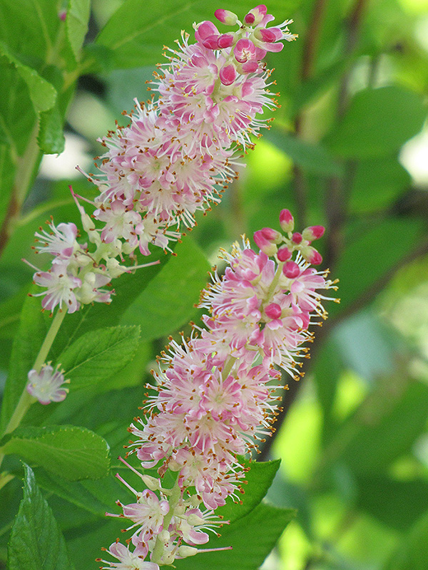 Ruby Spice Summersweet (Clethra alnifolia 'Ruby Spice') at Wolf Hill Home & Garden