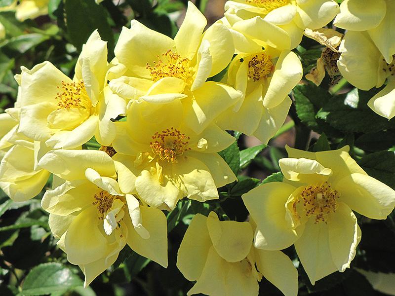 Flower Carpet Yellow Rose (Rosa 'Flower Carpet Yellow') at Wolf Hill Home & Garden