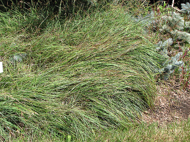 Blue Sedge (Carex flacca) at Wolf Hill Home & Garden