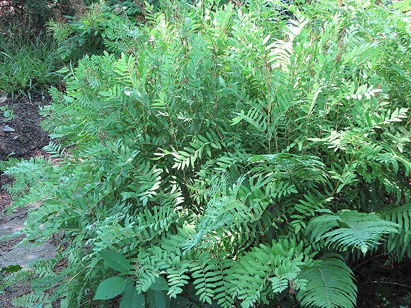 Royal Fern (Osmunda regalis) at Wolf Hill Home & Garden