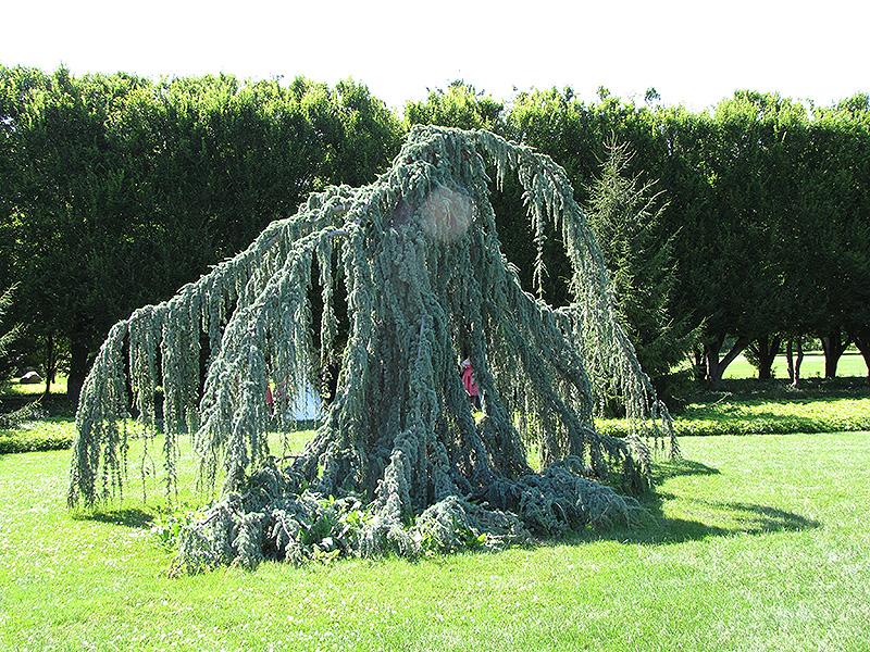 Weeping Blue Atlas Cedar (Cedrus atlantica 'Glauca Pendula') at Wolf Hill Home & Garden