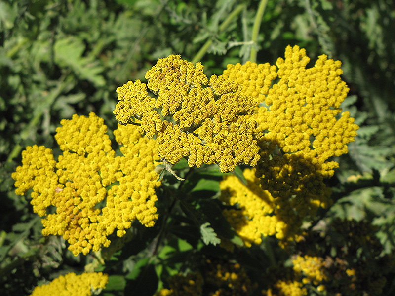 Coronation Gold Yarrow (Achillea 'Coronation Gold') at Wolf Hill Home & Garden