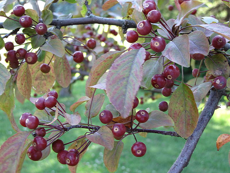 Indian Summer Flowering Crab (Malus 'Indian Summer') at Wolf Hill Home & Garden