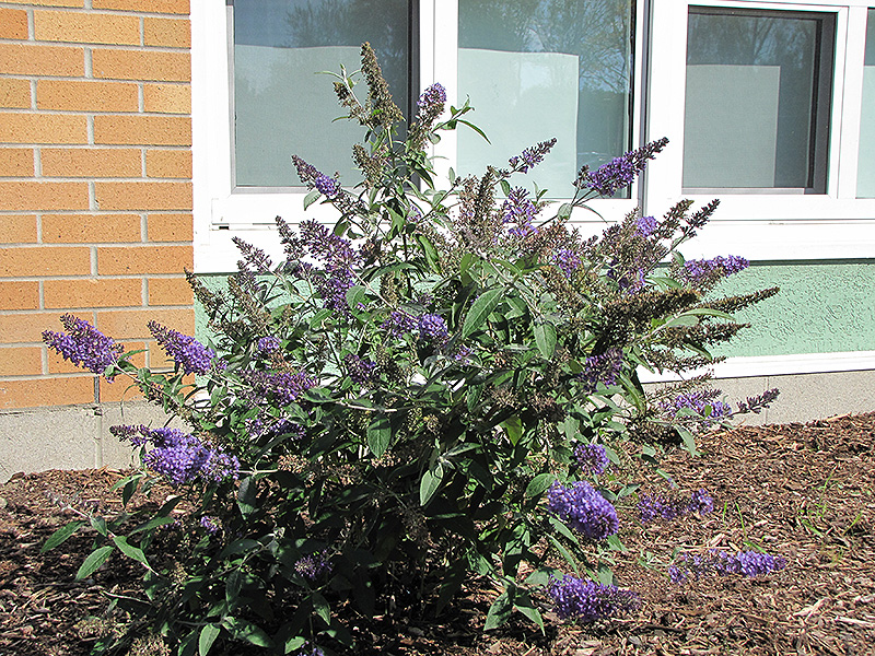 Nanho Blue Butterfly Bush (Buddleia davidii 'Nanho Blue') at Wolf Hill Home & Garden