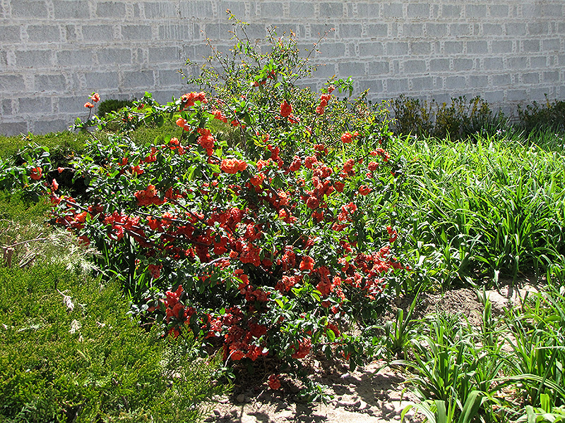 Cameo Flowering Quince (Chaenomeles speciosa 'Cameo') at Wolf Hill Home & Garden