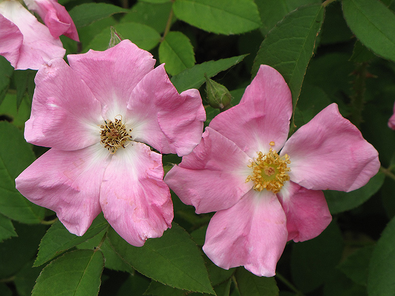 Rugosa Rose (Rosa rugosa) at Wolf Hill Home & Garden