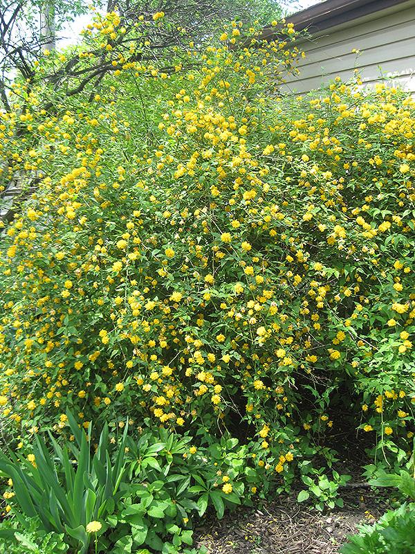 Double Flowered Japanese Kerria (Kerria japonica 'Pleniflora') at Wolf Hill Home & Garden
