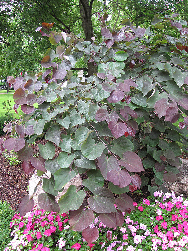 Forest Pansy Redbud (Cercis canadensis 'Forest Pansy') at Wolf Hill Home & Garden